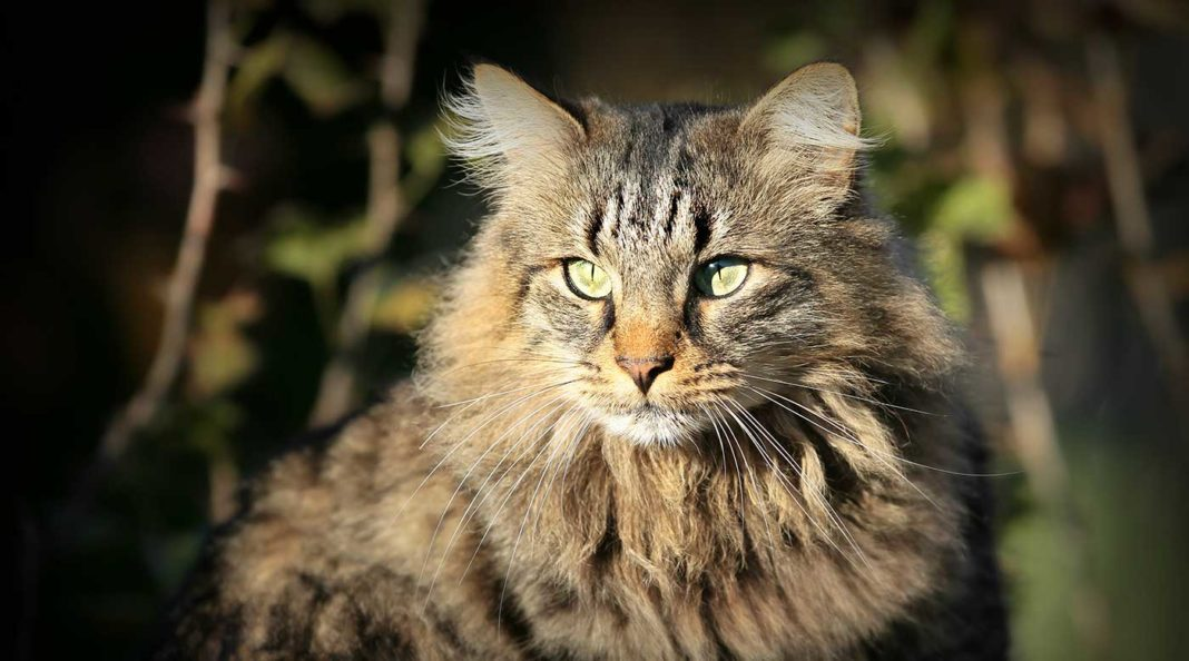 Pourquoi les chats ont-ils le ventre qui pend ? Aladin le malin nous donne la réponse sur Découverte magazine.