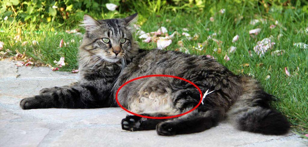 Pourquoi les chats ont-ils le ventre qui pend ?