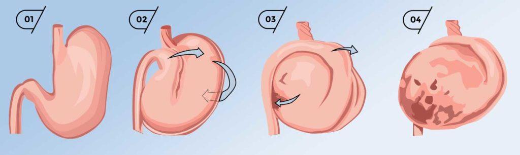 Dilatation-torsion de l'estomac chez le chien : un danger de mort pour votre toutou.