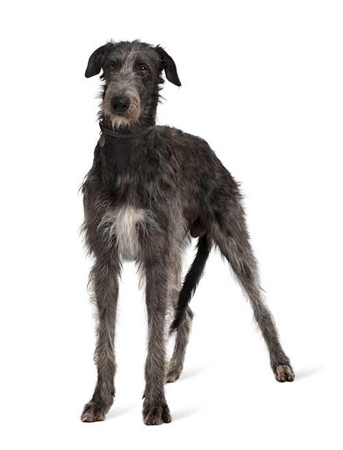 Chien Irish wolfhound