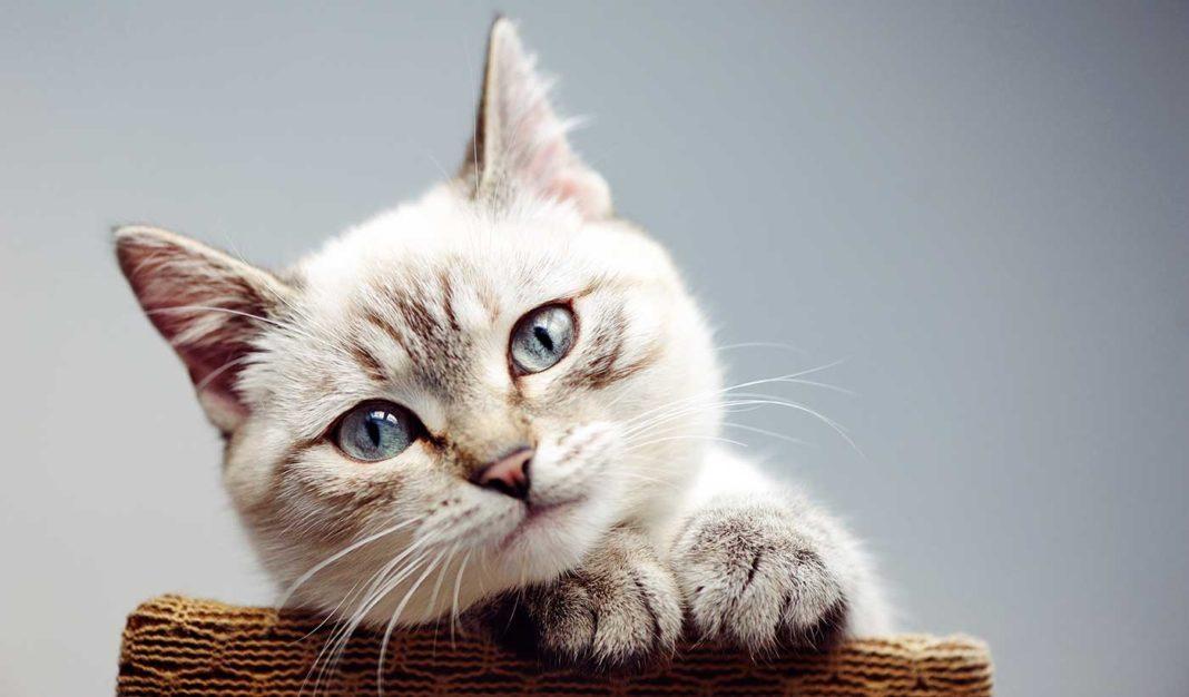 Le chat est l'animal de compagnie préféré des humains, bien avant le chien.