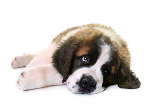 Bébé chien Saint-Bernard.