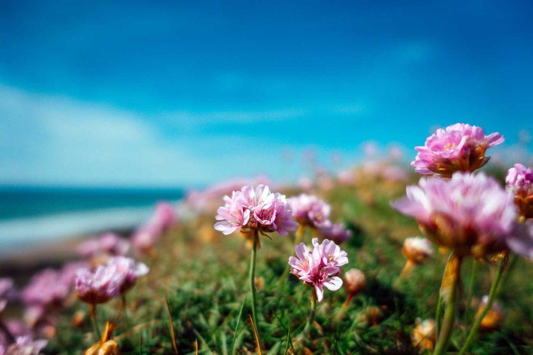 Jolies fleurs roses sur la lande bretonne, pour garder l'espoir.