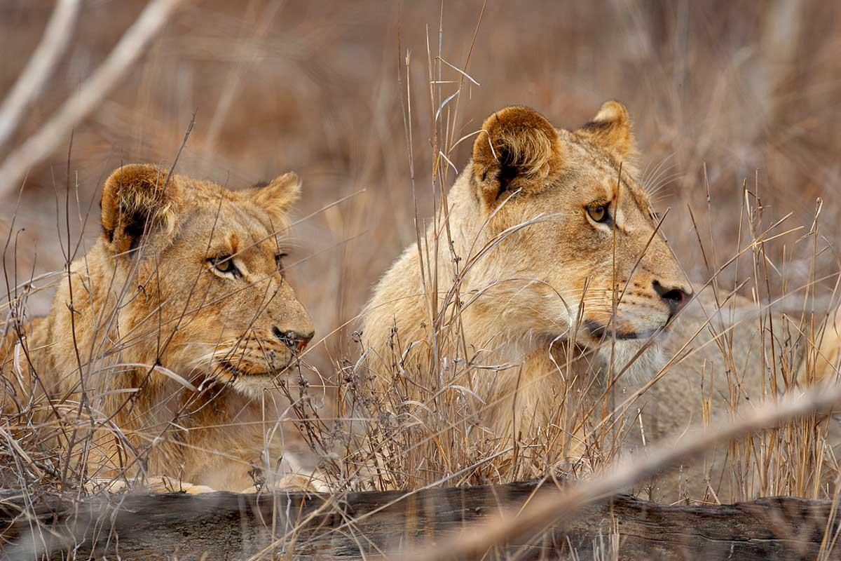 Une lionne prise en photo par Patrice Aguilar.