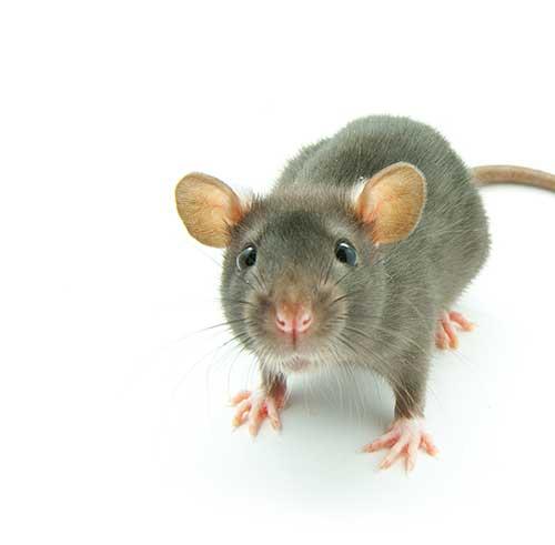 Petite souris grise