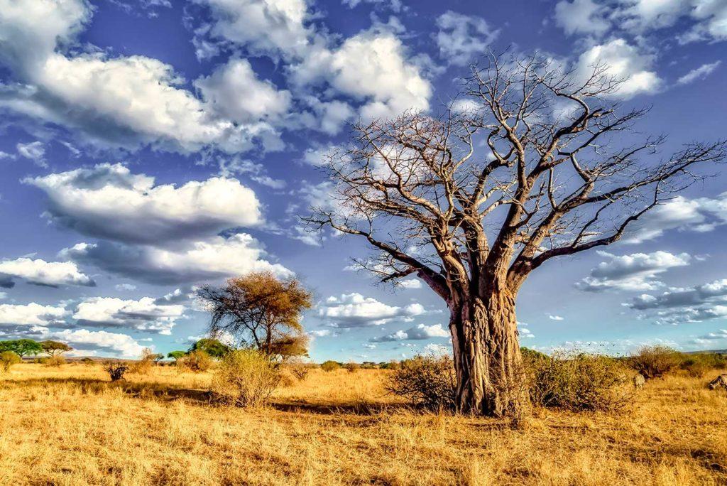 La savane et ses magnifiques arbres sous un ciel azur.