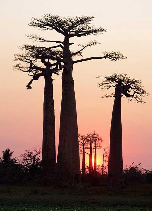 Les baobabs de Madagascar, une photographie de Sylvain Sester pour le magazine Découverte.