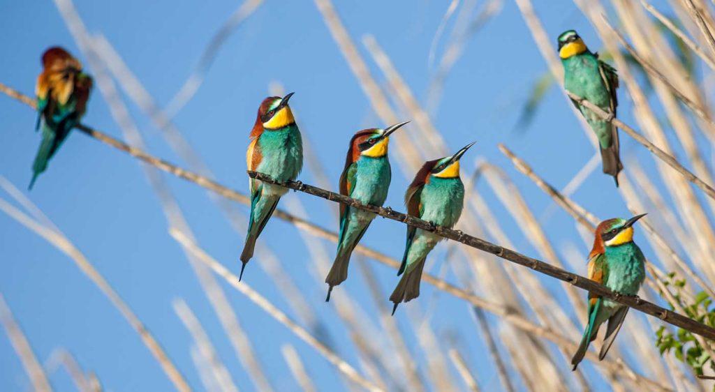 Les guêpiers sont des oiseaux très sociables, comme le montre cette photo de Patrice Aguilar.