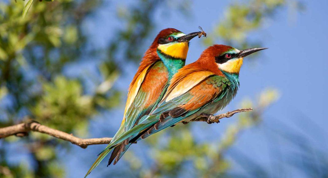 Les guêpiers, de magnifiques oiseaux photographiés par Patrice Aguilar, photographe animalier pour le magazine Découverte.